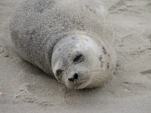 seal-on-beach1