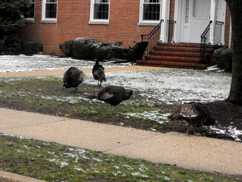 turkeys1