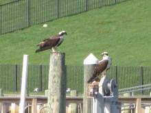 ospreys 3 042413