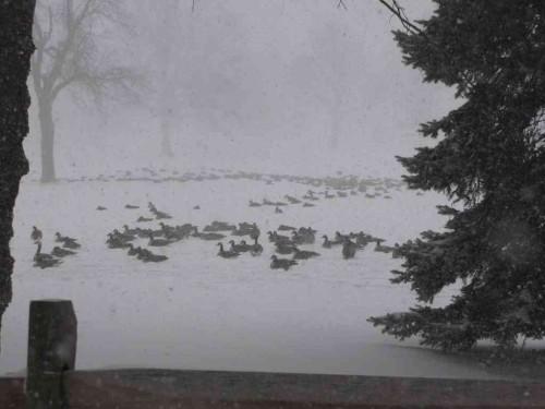 rumson geese012114 2