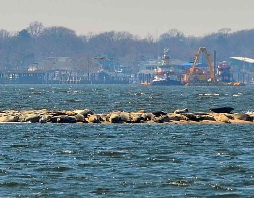harbor seals 2 030914