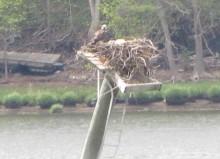 osprey nest 050913 2