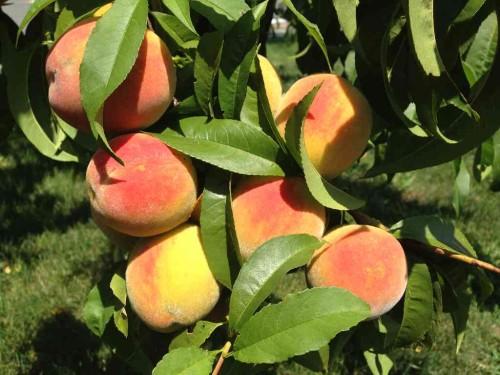 rb peach 2