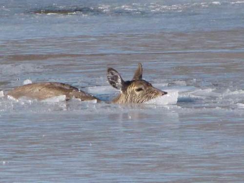 deer 022815