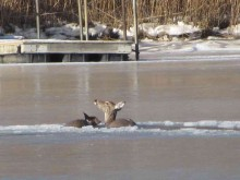 deer 022815 9
