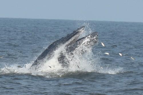 sb whale 070515