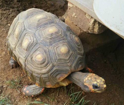 rb tortoise 081915