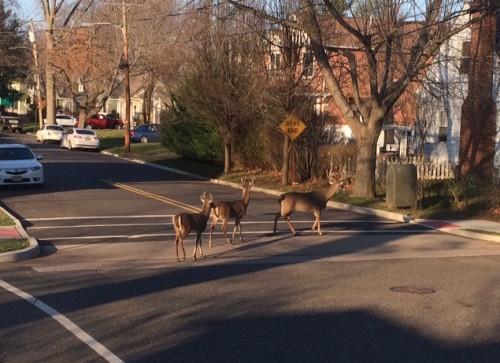 RB deer 010216