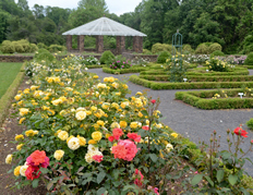Deep Cut rose garden