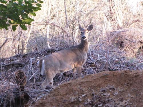 rumson deer 032116 1
