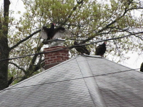 turkey vultures 050216