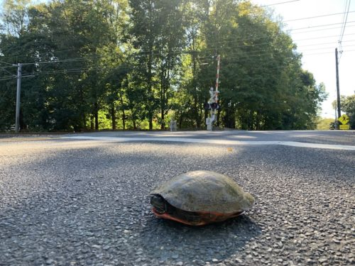 middletown nj turtle