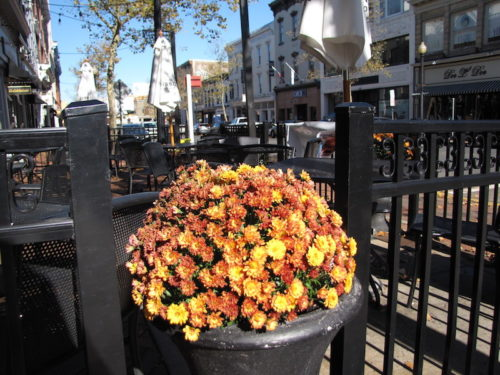 red bank nj autumn mums