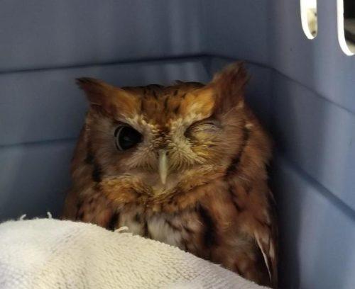 SHREWSBURY OWL