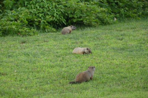 red bank groundhogs