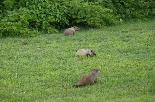 red bank groundhogs